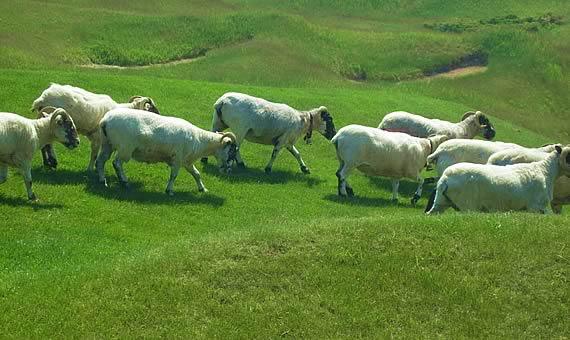 球场上的黑脸山羊